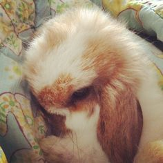 Henry the holland lop.