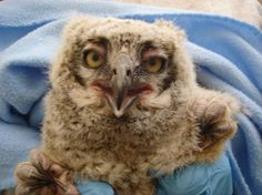 Baby owl finds its way back to the nest, with a little help