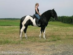 the spotted draft horse | Commander - Black Tobiano Spotted Draft Stallion by Beckers ...