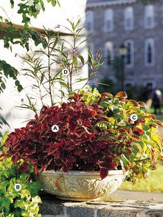 Container Gardens: With fantastic foliage, you don't even need flowers. Look for plants that have colorful foliage, such as the coleus used here. This planting grows best in partial shade.   A. Coleus (Solenostemon 'Black Dragon') -- 3   B. Coleus (Solenostemon 'Wizard Jade') -- 3   C. Coleus (Solenostemon 'Dress Me Up') -- 3   D. Ruellia brittoniana -- 1