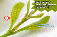 Anti-pucerons naturel et efficace pour plantes vertes