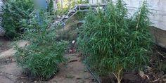 ΦΩΤΟ: Το έσκασε από την φυλακή για να καλλιεργήσει... κάνναβη! Συνελήφθη στην Ηλεία!