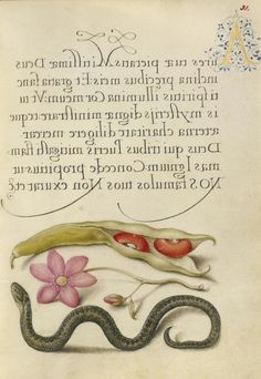 Joris Hoefnagel (illuminator)  [Flemish / Hungarian, 1542 - 1600], and Georg Bocskay (scribe)  [Hungarian, died 1575],                  		            Kidney Bean, Poppy Anemone, and Adder,                      		        Flemish and Hungarian, 1561 - 1562