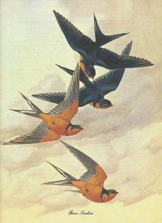 Barn Swallow - Athos Menaboni - Birds by esmeralda Vintage Birds, Vintage Prints, Vintage Posters, Barn Swallow, Swallow Bird, Swallow Tattoo, Vogel Illustration, Poster Display, Bird Prints