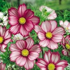 Candy Stripe cosmos seeds - Garden Seeds - Annual Flower Seeds