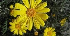 #Υγεία #Διατροφή Το φαρμακείο της φύσης – Το θεραπευτικό λάδι της άρνικας ΔΕΙΤΕ ΕΔΩ: http://biologikaorganikaproionta.com/health/219883/