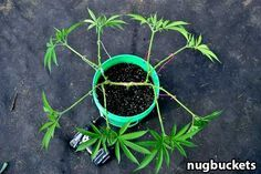 "Set up your main-lining ""hub"" in the vegetative stage, then just lay back and let your plant do her thing. Source: http://www.growweedeasy.com/main-lining-technique-nugbuckets"