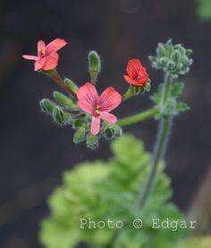 P. fulgidum 'Coral Pink'