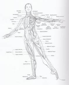 Basic anatomical diagram including bones and major muscle groups for dancers