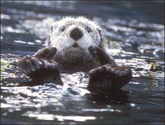 A Sea Otter Tells it Like it Is