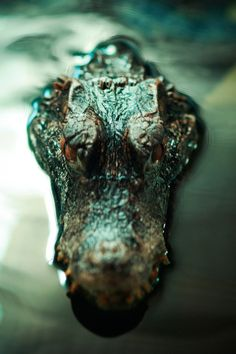 The photographer's skill is sick!! | Crocodile |Pinned from PinTo for iPad|