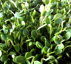 Grow Sprouts in Your Kitchen! |SeedsNow.com Can also make your own using a mason jar, cheese cloth, a little water and seeds from the health food store. Eat your sprouts in 5 days. Super easy. Here's how: http://www.thekitchn.com/how-to-grow-your-own-alfalfa-s-44854