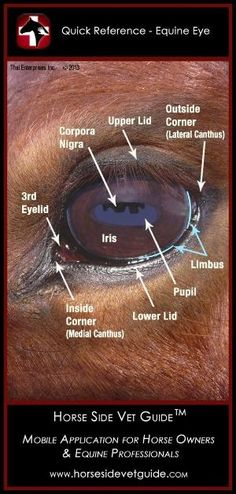 Horse Side Vet Guide - Quick Reference - Equine Eye Anatomy...repinned with thanks by DressageWaikato.co.nz..... by madelyn