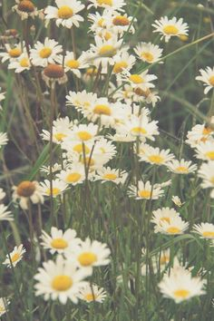 Daisies are so sweet; they make me so happy  !!!