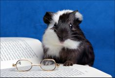 cute guinea pig reading