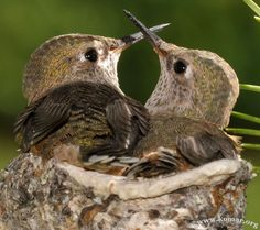 baby hummers about to outgrow the nest