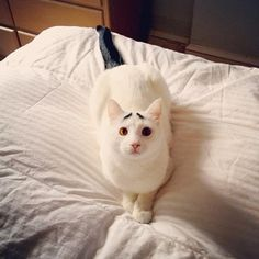 Funny cat with eyebrows
