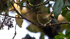 Large Scrubwren (Sericornis nouhuysi) Perched bird in foliage looking towards the observer.