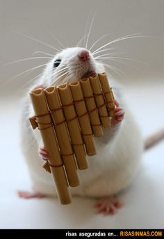 La rata flautista.