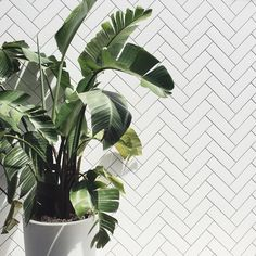 Creating a Tropical Bathroom on a Budget Green Plants, Tropical Plants, Green Garden, Plants Are Friends, Houseplants, Indoor Plants, Mother Nature, Planting Flowers, Greenery