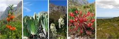 Don't miss a visit to this beautiful place on Earth! 1 h drive from Cape Town is the Kogelberg Biosphere - the only reserve in South Africa to be proclaimed by UNESCO. The beauty is everywhere! How To Speak French, Adventure Activities, Travel Companies, Plant Species, Travel Planner, Rest Of The World, Afrikaans, Cape Town, South Africa