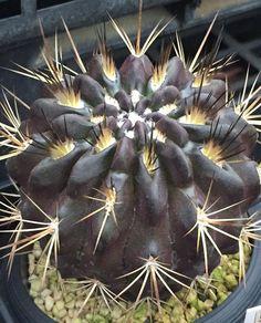 Eriosyce crispa v.huascensis
