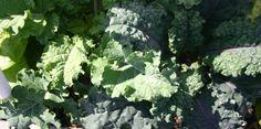 ¿Qué es el Kale, y por qué tan famoso?  Ingrediente muy nutritivo. Viene de oriente.