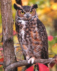 for the past few autumns, there has been a Great Horned Owl up in the tree in my backyard. I am totally fascinated with this bird. Hoots at all hours of the night. The first time I saw him, I thought it was a cat way up in the tree. Just beautiful.