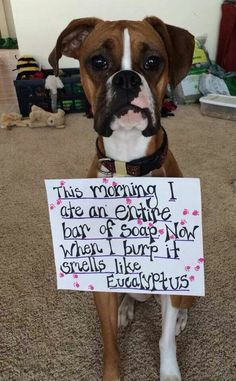 Boxer – Energetic and Funny Funny Dog Memes, Funny Animal Memes, Funny Animal Pictures, Funny Dogs, Funny Animals, Cute Animals, Funny Boxer, Boxer Puppies, Cute Puppies