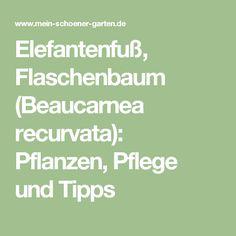 Elefantenfuß, Flaschenbaum (Beaucarnea recurvata): Pflanzen, Pflege und Tipps