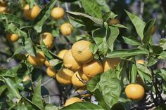 One of the most obvious signs of an orange tree in distress is orange leaf curl. Once you have spotted leaf curl in your orange trees, the obvious question is why are my orange tree leaves curling and is there a cure? This article will help.