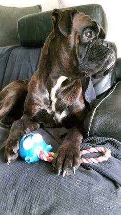 What sheen! Gorgeous profile! #BoxerDog