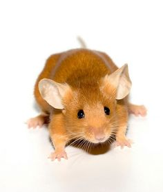 Fancy Mice | Fancy mice - CaptiveBred Reptile Forums, Reptile Classified, Forum