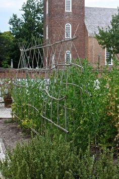 willow stacking of peas, Colonial Nursery, Colonial Williamsburg, by Justine Hand for Gardenista