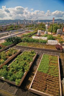 Image of a rooftop garden above the Noble Rot Restaurant off of NE Burnside in Portland, they use the produce they grow on the roof in the restaurant.