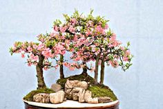 Chinese #Bonsai tree...