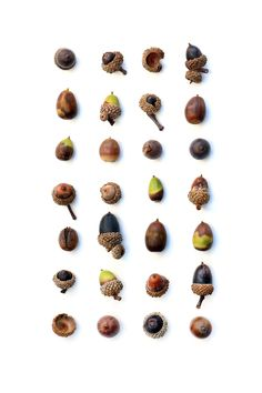 acorns  (mary jo hoffman)