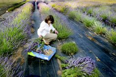 Lavender made in the north hills of Missoula, MT. Trust me, it smells SO good.   http://missoulian.com/news/local/grant-creek-lavender-grower-takes-sales-to-internet/article_4391e486-fa4a-11e2-9f03-0019bb2963f4.html