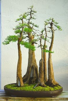Bald cypress bonsai forest by Ed Trout