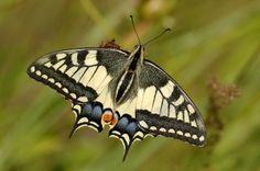 /Papilio machaon