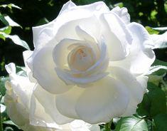 """"""" Annapurna """" (DORblan) - White Hybrid Tea Rose - Strong, honey, tea rose fragrance - Dorieux - 2006"""