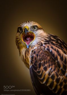 A screaming red kite Red Kite, Birds Of Prey, Cool Photos, Owl, Canon Eos, Animales, Owls