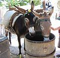 October 26 - Mule Day