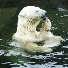 Amor maternal - Osos polares