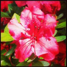 Rododendro - Jardín botánico de Madrid