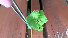 1. Achocha  The characteristics of the achocha plant, also known as the Bolivian cucumber, vary depending on species. Its fruit — which tastes like a cucumber when picked early and like a bell pepper when picked later — may be smooth or have soft spikes.  And as you can see in the video above, some varieties, um, explode. http://michaeldiaz.towergarden.com/content/tower-garden/en/blog.read.html/en/2016/4/interesting-plants