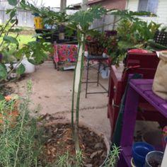 Papaya plant from seed