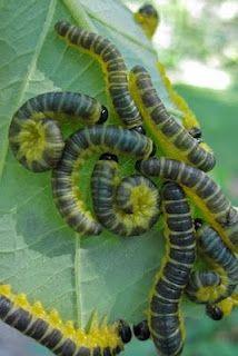 Dogwood Sawfly larvae ~ Macremphytus tarsatus