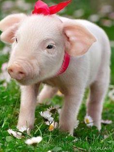 A little piggy