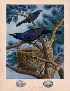 Vintage Grackle Birds Printable - Free from The Graphics Fairy!